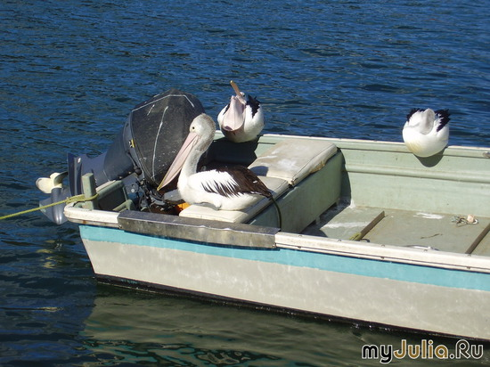 Австралия, Central Coast, пеликан