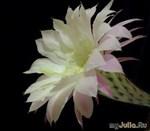 Эхинопсис – кактус для начинающего ботаника