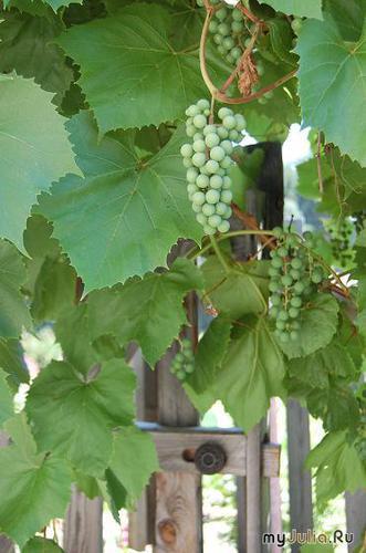 папин виноград