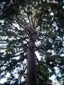 Самое высокое дерево - секвойя