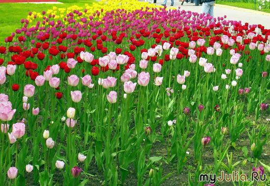 Тюльпановый луг