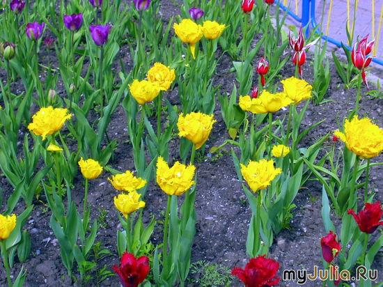 Лохматые тюльпаны