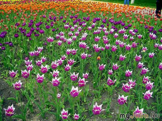опять тюльпаны