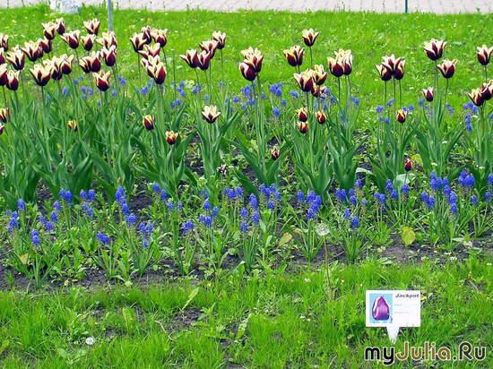 чёрные тюльпаны