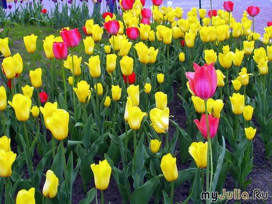 жёлтые тюльпаны с красными