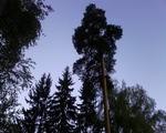 Аватар Pine