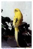Принц и колхозница. Из жизни волнистых попугаев.