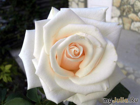 Розочка из Черноморского