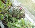 цветущий кактус на фоне суккулентов