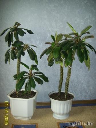 Цветы комнатные фото и названия пальмовые