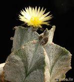 Астрофитумы - звезды среди кактусов