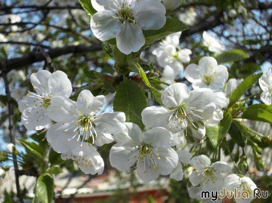 А это уже цветёт вишня