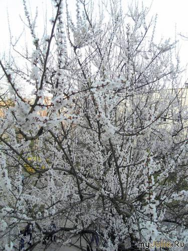 Абрикосы за окном