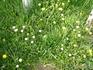 Маргаритки в зеленой траве.