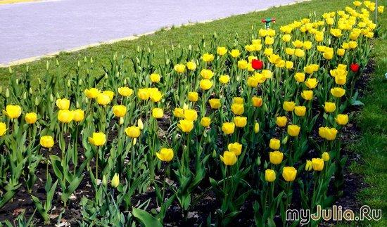 "жёлтые тюльпаны ""Stron gold"""