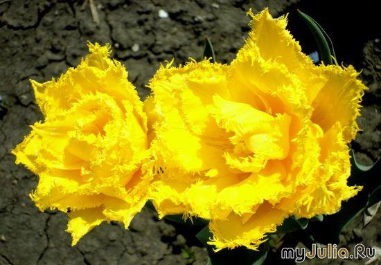 Жёлтые бархатные тюльпаны