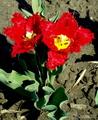 красные бархатные тюльпаны