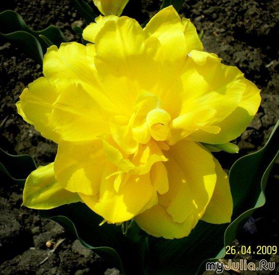 Жёлтый тюльпан, который больше похож на пион