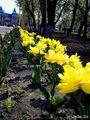 Аллея с лохматыми тюльпанами