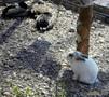 Кролик с утками