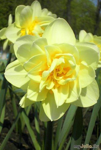 жёлтый тюльпан с кучей лепестков