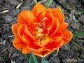 Алый тюльпан