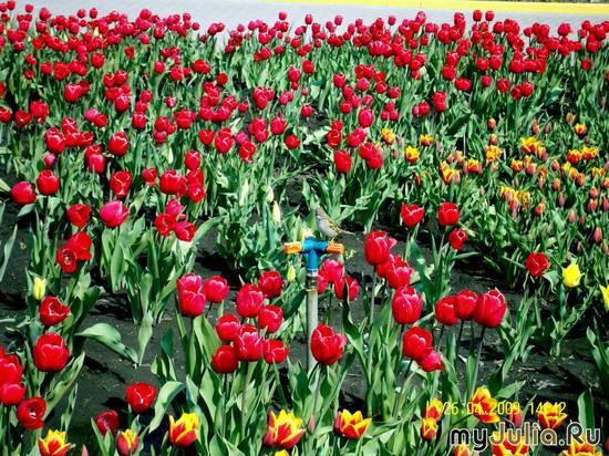 Тюльпаны и воробей