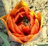 Пчела в тюльпане