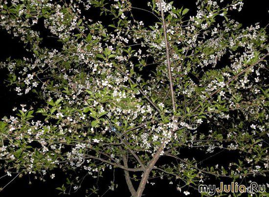 Ночь. Весна. вишня
