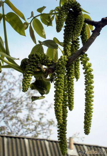 грецкий орех цветёт