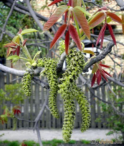орех цветёт