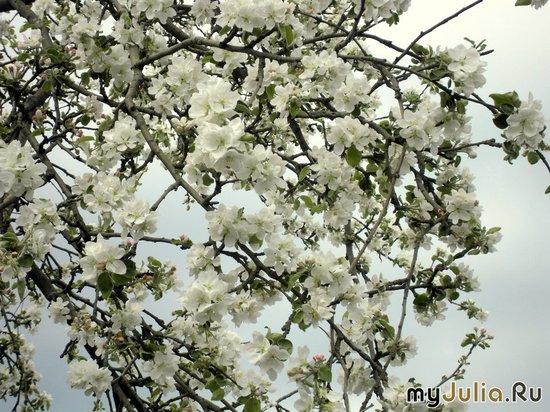яблоня в цвету