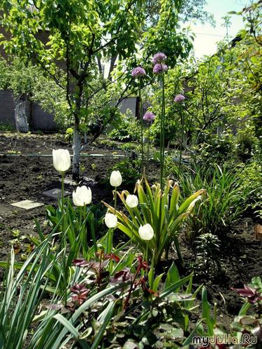 лук и тюльпаны