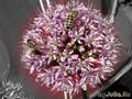пчёлы на цветке лука