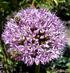 цветок лука
