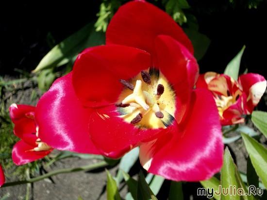 тюльпаны осыпаются