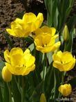 Тюльпаны - вестники весны