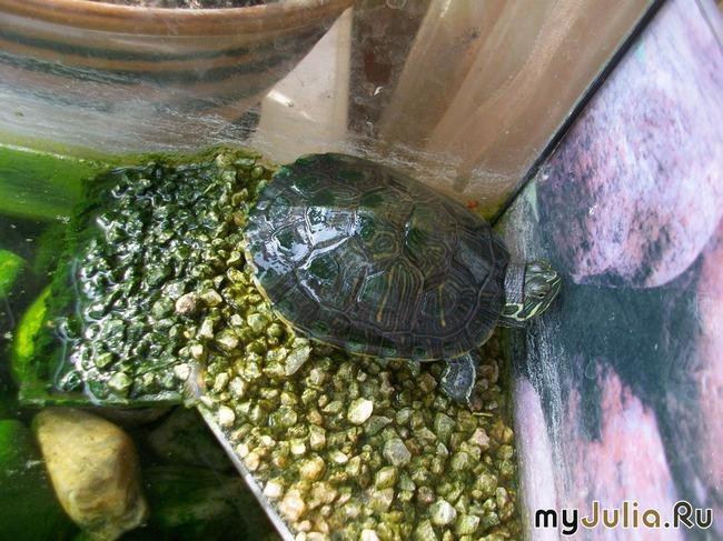 Имена для красноухих черепах