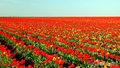Поле тюльпанов в Крыму
