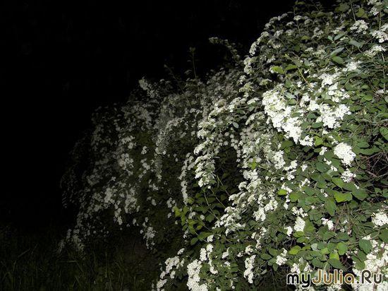 ночной куст