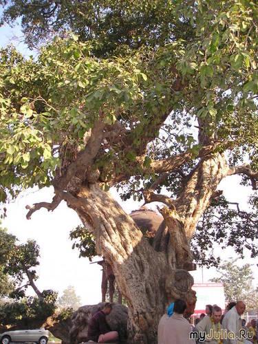Дерево счастья, исполняющее желания, Индия, Вриндаван, святон место