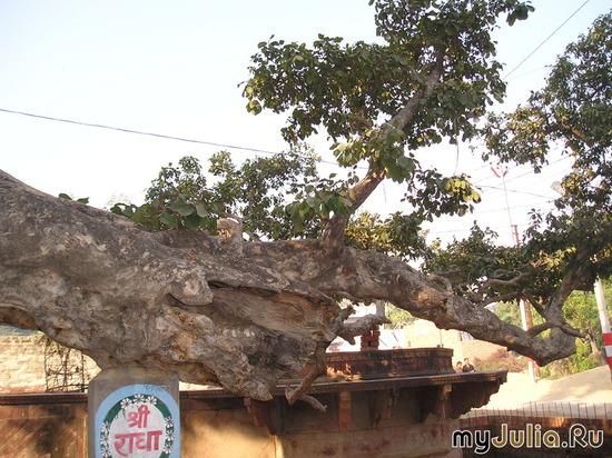Дерево Кришны - 5000-летнее!