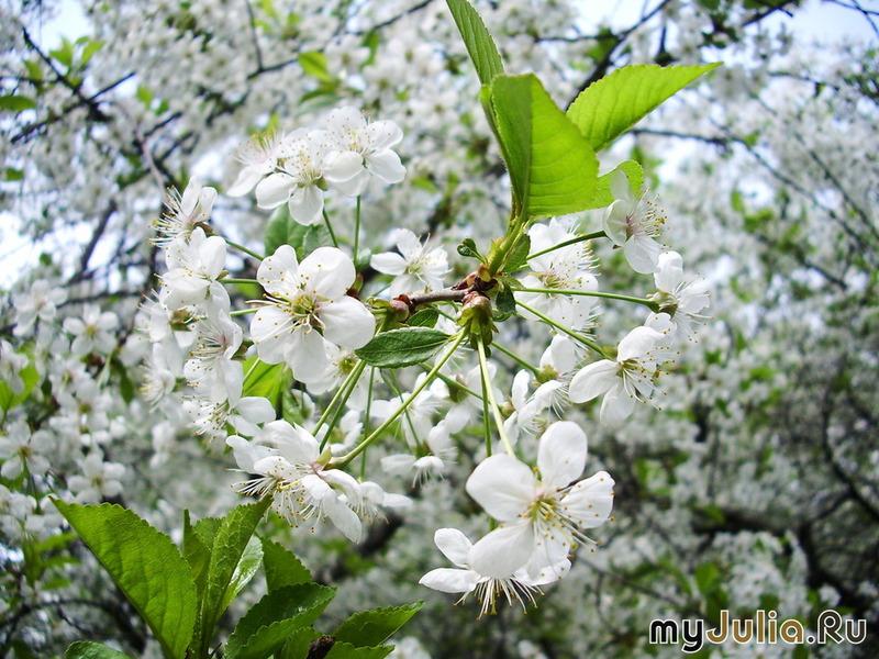 Волосы цветы вишни