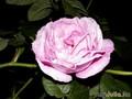 Ещё роза