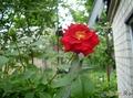 плетистые розы малиновые