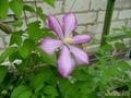 цветет клематис