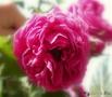 пчела в розе