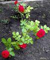 молодой кустик розы