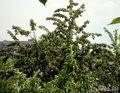 соседская черешня