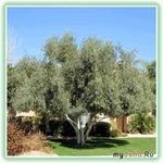маслина в домашних условиях